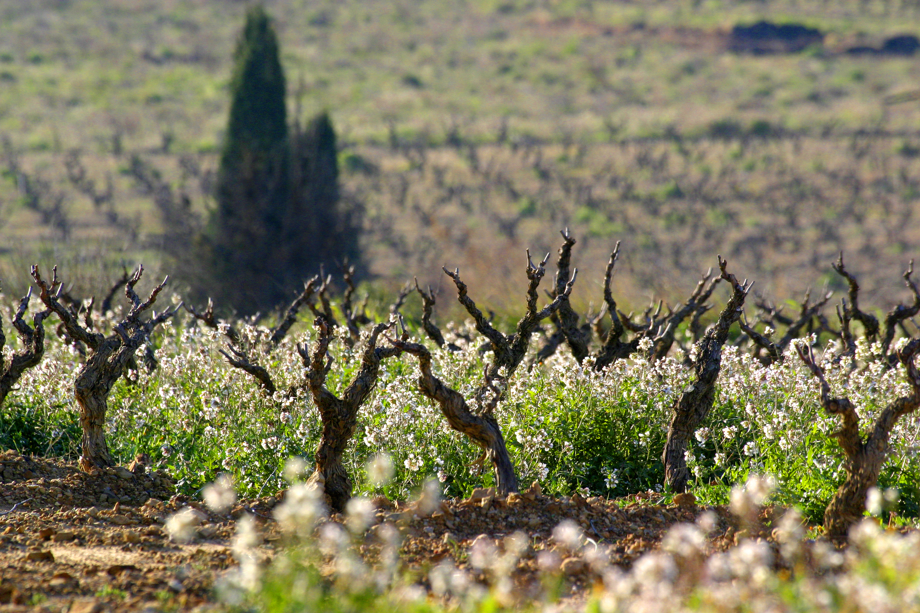 domaines viticoles - photo de vignes fleuries